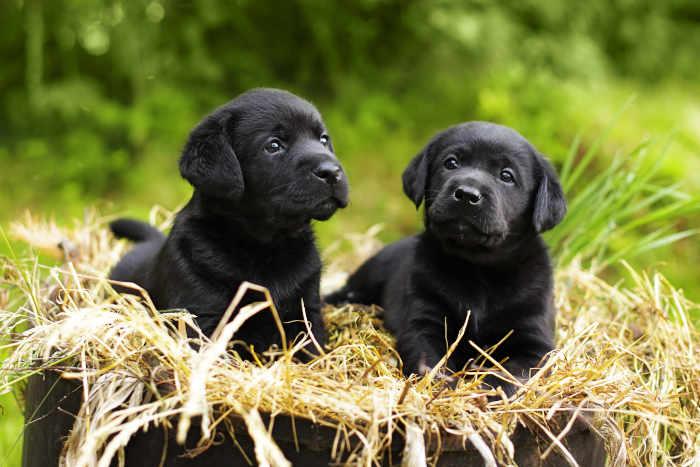 Two Black Labrador Puppies