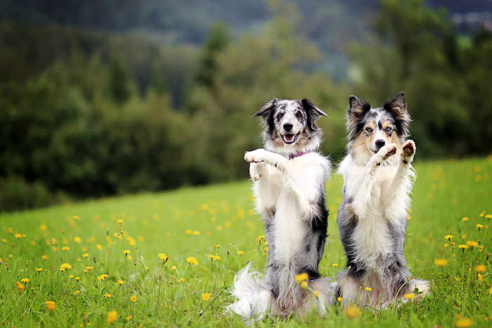 Two Border Collie Dogs