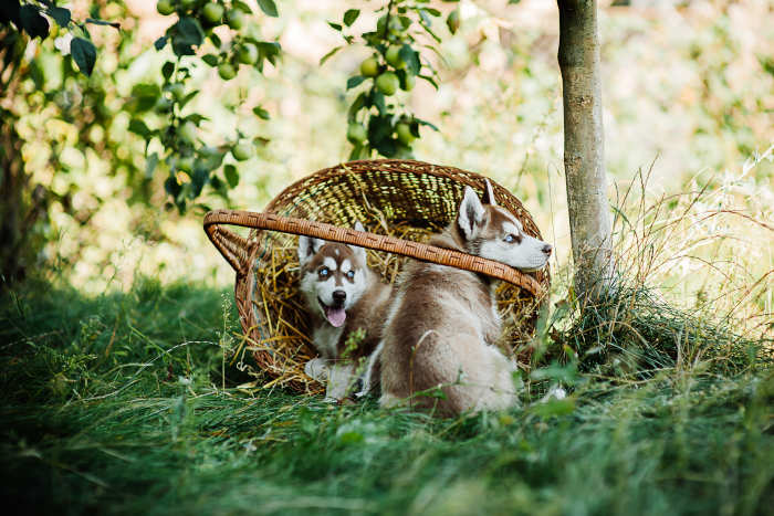 Husky Puppies in a Basket