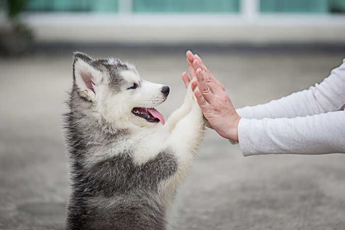 Husky Puppy Giving a High Five