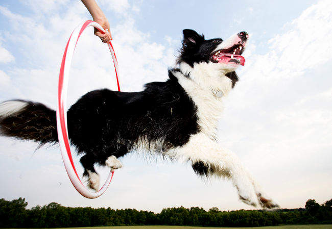 Border Collie Jumping Through Hoop