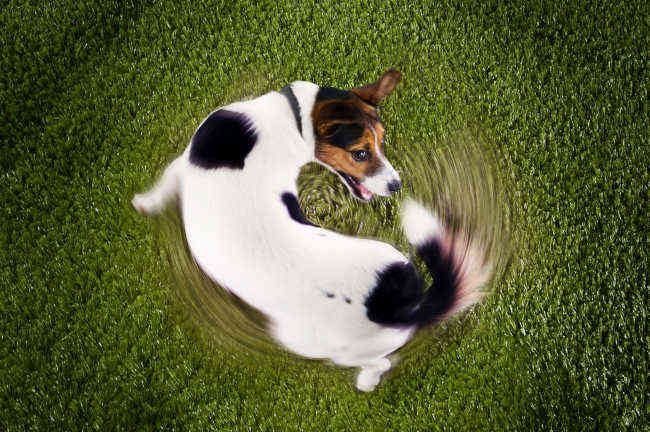 Jack Russell Spinning Round