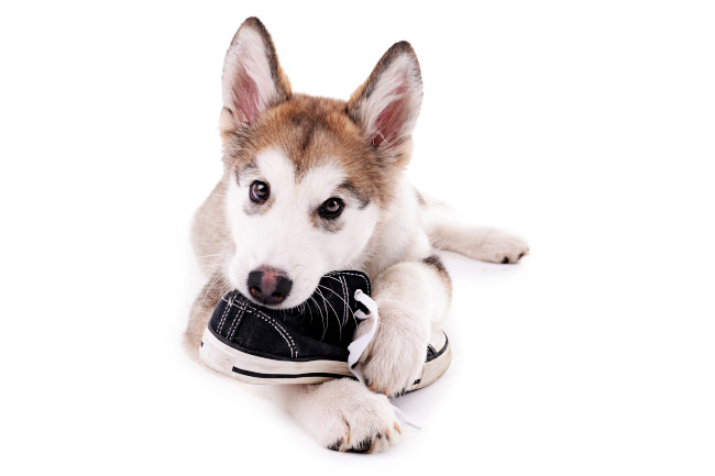 Husky Puppy Chewing Shoe