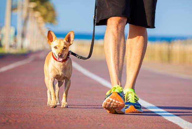 Chihuahua and Man Walking