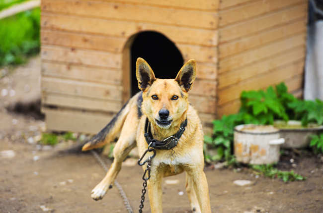 Chained Dog Barking