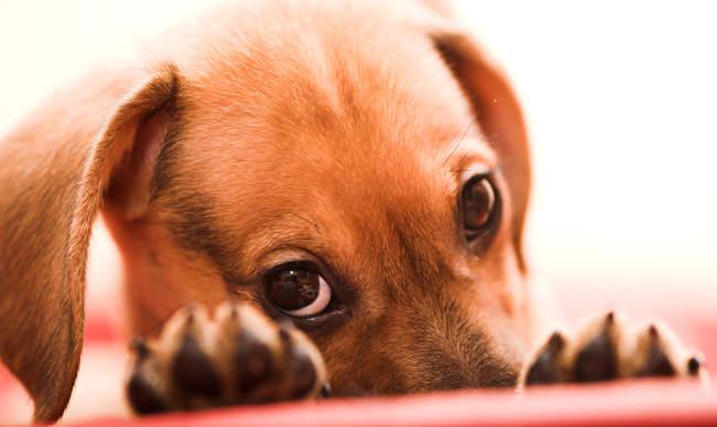 Cute Puppy Staring at Camera