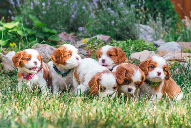 Cute Litter of Puppies