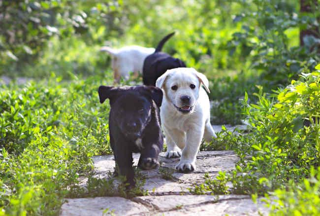 Labrador Puppies on Foot Path