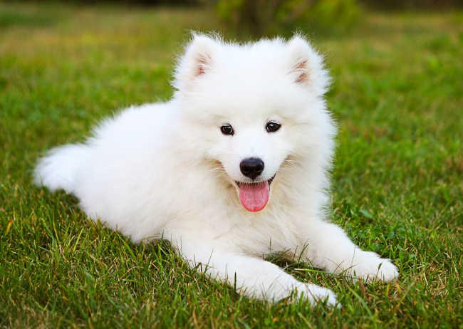 White Dog Laying on Lawn