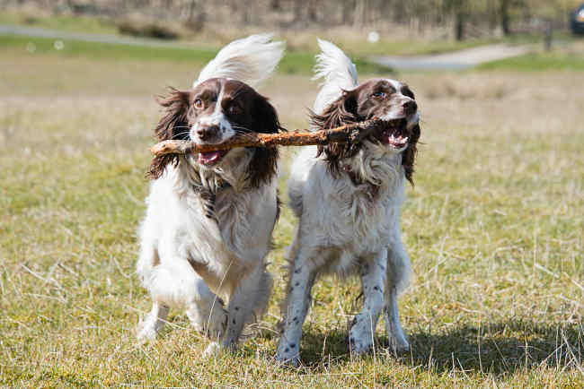 Two Springer Spaniels Playing