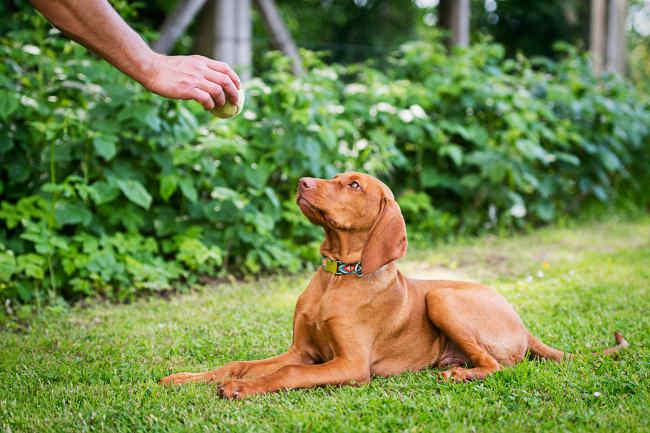 Vizsla Puppy in Training