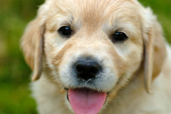 Adorable Puppy Smiling