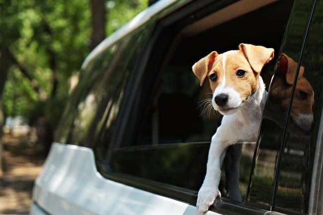 Puppy in a Car Window