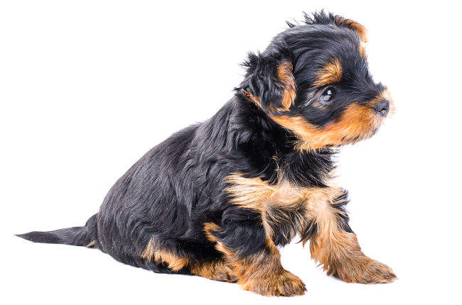 Small Yorkshire Terrier Puppy