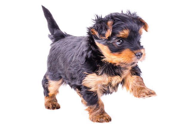 Small Yorkshire Terrier Pup