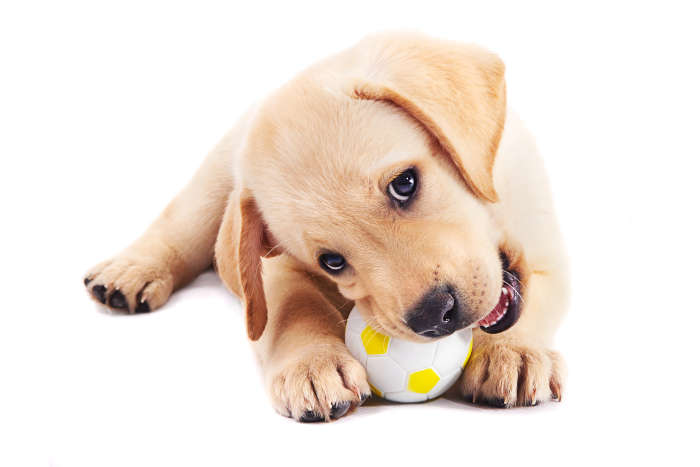 Labrador Puppy Playing With Ball