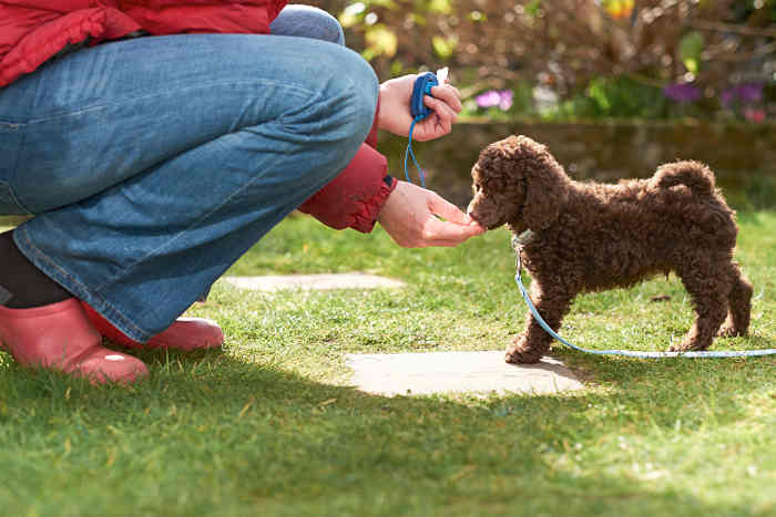 Miniature Poodle Being Clicker Trained