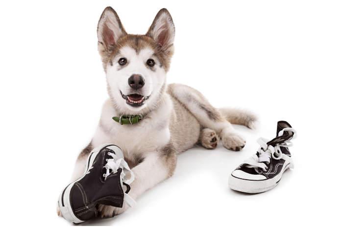 Husky Chewing Shoe